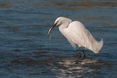 Egret with the catch Royalty Free Stock Photos
