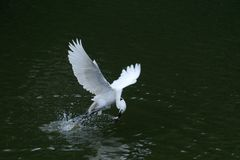 The egret catch fish from the river, in dark green background stock image