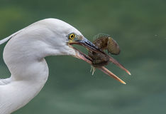 Egret with a catch ! Royalty Free Stock Photos