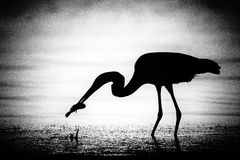 Free Egret Catching A Fish Royalty Free Stock Photos - 28913268