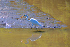 Egret catching a fish. A egret catching a fish against a predatory-looking mudflat background,is reflected in the water in the foreground Stock Images