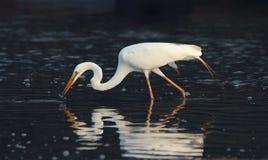 Egret catching fish royalty free stock photos