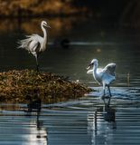 Egret after catching fish. Egret with fish in mouth, won`t want to share with another mate Royalty Free Stock Image