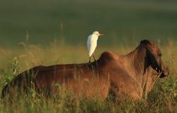 Egret on cattle back royalty free stock photo