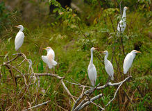 Egret Cattle Stock Photography