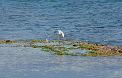Egret caught fish Royalty Free Stock Photos