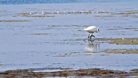 Egret chasing a small fish stock video