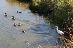 Egret che gode della vista Immagini Stock