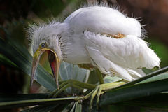 An Egret chick squawks loudly. Royalty Free Stock Images