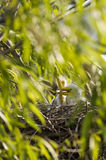 Egret Chicks Royalty Free Stock Photo