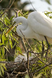 Egret with chicks in nest Stock Image