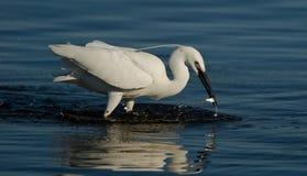 egret chwytająca ryba Fotografia Royalty Free