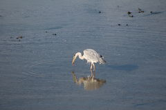 Egret cinzento Imagens de Stock Royalty Free