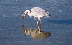 Egret cinzento Fotos de Stock
