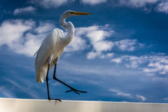 An egret in Clearwater Beach, Florida. Stock Images