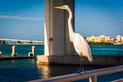Egret in Clearwater, Florida. Royalty Free Stock Photography