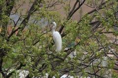 Egret com couros bonitos Fotos de Stock Royalty Free