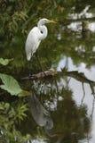 Egret com reflexão Fotografia de Stock