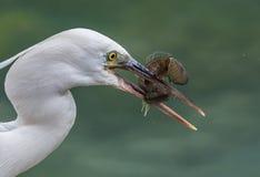 Egret com uma captura! Fotos de Stock Royalty Free