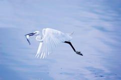 Egret con i pesci durante il volo immagini stock