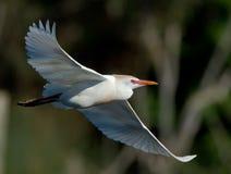 Egret con la diffusione delle ali fotografia stock