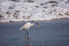 Egret with Crab Stock Photo