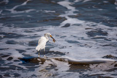 Egret with Crab. A Snowy Egret (Egretta thula) with a large sand crab.  Taken near Playas, Ecuador Royalty Free Stock Photos