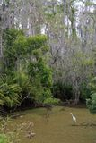 Egret in a Cypress Swamp. An egret waits for its next meal in a Cypress Swamp Stock Photography