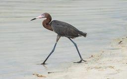 egret czerwonawego zdjęcia stock