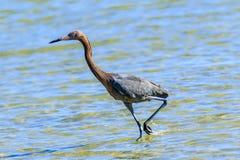 egret czerwonawego Obrazy Stock