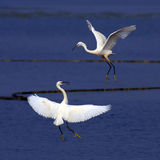 Egret dance. There are two dancing egrets Stock Photography
