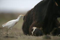 Egret de gado, íbis do Bubulcus fotografia de stock