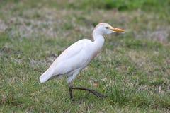 Egret de gado (íbis do Bubulcus) Imagens de Stock Royalty Free
