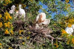 Egret de gado, íbis do bubulcus, com cores da criação de animais Foto de Stock