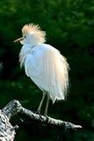 Egret de gado 2 Fotos de Stock