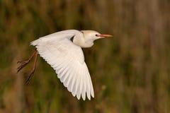 Egret de gado Fotografia de Stock Royalty Free