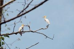 Egret de gado Foto de Stock Royalty Free
