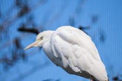 Egret de gado africano branco foto de stock