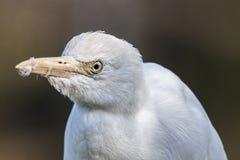 Egret de gado africano branco imagens de stock royalty free
