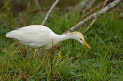Egret de gado (Bubulcus ibis) imagens de stock royalty free