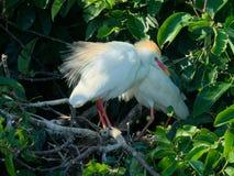 Egret de gado da criação de animais Fotos de Stock Royalty Free
