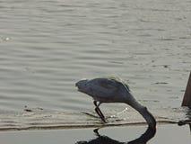 Egret de gado do pássaro - o Cairo imagens de stock