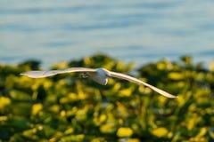 Egret de gado em voo Fotografia de Stock