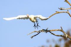Egret de gado em voo Imagem de Stock