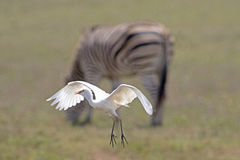 Egret de gado em voo Imagens de Stock