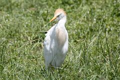 Egret de gado na grama verde Foto de Stock Royalty Free