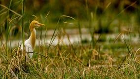 Egret de gado na plumagem da criação de animais fotos de stock royalty free