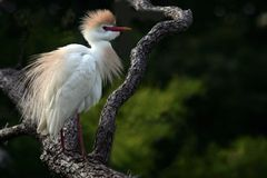 Egret de gado na plumagem da criação de animais imagem de stock
