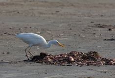 Egret de gado na praia de Tanji Fotografia de Stock Royalty Free
