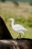 Egret de gado no búfalo Fotografia de Stock Royalty Free